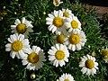 Starr 080117-1509 Argyranthemum frutescens.jpg