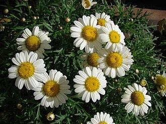 Argyranthemum frutescens - Image: Starr 080117 1509 Argyranthemum frutescens