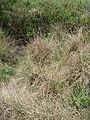 Starr 080609-7974 Sporobolus indicus.jpg