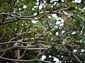 Sterculia guttata Roxb. (6425172825).jpg