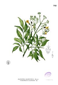 Stereospermum chelonoides Blanco2.252