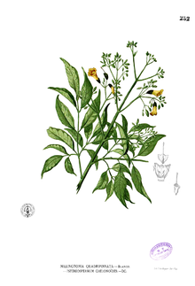 Stereospermum chelonoides Blanco2.252.png