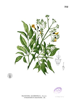 Stereospermum chelonoides - Image: Stereospermum chelonoides Blanco 2.252