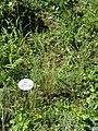 Stipa joannis - Botanical Garden, University of Frankfurt - DSC02672.JPG