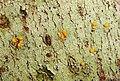 Stirtoniella kelica by Peter de Lange.jpg