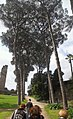 Stone Pine Trees (5986631739).jpg