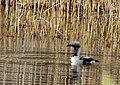 Storlom Black-throated Loon (20163381740).jpg
