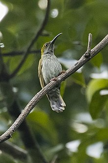 Streaky-breasted Spiderhunter - Carita - West Java, Indonesia.jpg