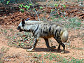 Striped hyena (Hyaena hyaena) at IGZoo Park.JPG