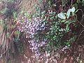 Strobilanthes Kunthiana - Neelakurinji at Mannavan Shola, Anamudi Shola National Park, Kerala (1).jpg