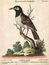 Kerak Kerbau Wikipedia Bahasa Indonesia Ensiklopedia Bebas
