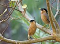 Sturnus pagodarum -India -pair-8.jpg