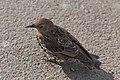 Sturnus vulgaris (Common Starling) - 20150801 17h08 (10638).jpg