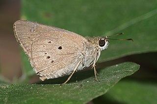 <i>Suastus gremius</i> species of insect
