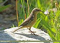 Sulphur-bellied Warbler (Phylloscopus griseolus) (15709812219).jpg
