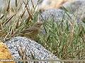 Sulphur-bellied Warbler (Phylloscopus griseolus) (29558613013).jpg