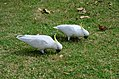 Sulphur-crested cockatoos In The Botanical Gardens.jpg