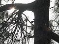 Sun shining through a tree in Murree.JPG