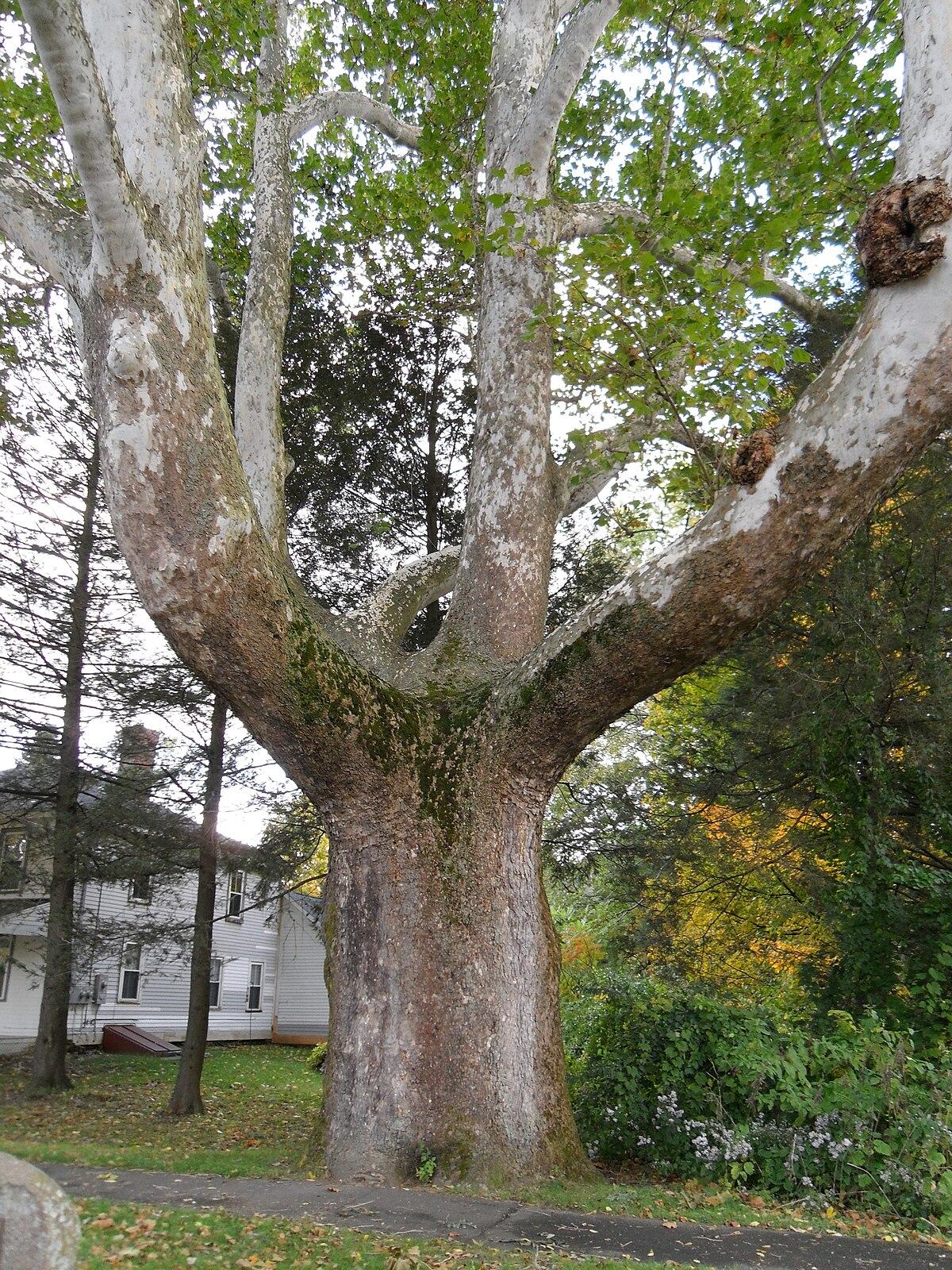 Trees Of Santa Cruz County Melaleuca Quinquenervia: Buttonball Tree