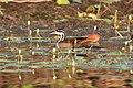 Sungrebe (Heliornis fulica) (7222522808).jpg