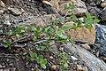 Swamp Birch (Betula pumila) - Gros Morne National Park, Newfoundland 2019-08-17 (02).jpg