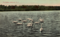 Swans, Lakewood, New Jersey.png
