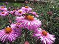 Symphyotrichum novae-angliae Herisau 02.jpg