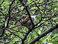 Synallaxis hypochondriaca - Great Spinetail.jpg