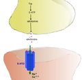 Synapse 5-HT3 cation.png