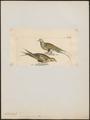 Syrrhaptes paradoxus - 1820-1860 - Print - Iconographia Zoologica - Special Collections University of Amsterdam - UBA01 IZ16900051.tif