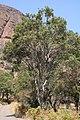 Syzygium guineense 25188238.jpg
