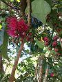 Syzygium malaccense flowers Beqa Fiji.jpg