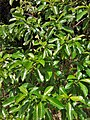 Tabernaemontana citrifolia (Milkwood).jpg