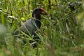 Takahe - Tiri Tiri - New Zealand (38491855444).jpg