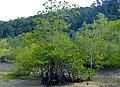 Tall-stilt Mangrove (Rhizophora apiculata) (15746830641).jpg