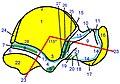 Talus, lateral face, attachment.ro1.jpg