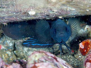 Plesiopinae subfamily of fishes