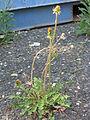 Taraxacum officinale plant2 (16190499429).jpg