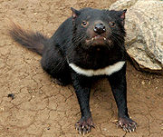 Tasmanian devil head on.jpg