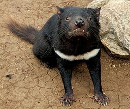Tasmanian devil head on