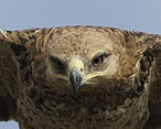 Tawny eagle's gape - Flickr - Lip Kee.jpg