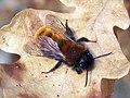 Tawny mining bee (Andrena fulva) (4511013367).jpg