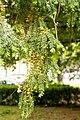 Taxus-baccata 12-18-B WLE2020 Denis-Apel 3.jpg