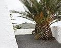 Teguise, Palme an der Ermita de las Nieves, Blick zum Peñas del Chache.JPG