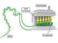 Telomerase illustration.jpg