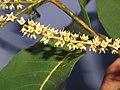 Terminalia elliptica - Indian Laurel flowers at Nedumpoil (35).jpg