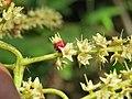Terminalia elliptica - Indian Laurel flowers at Nedumpoil (8).jpg