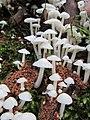 Termitomyces microcarpus (Berk. & Broome) R. Heim 564259.jpg