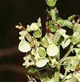 Teucrium scorodonia 140805.jpg