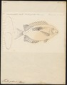 Teuthis guttata - 1700-1880 - Print - Iconographia Zoologica - Special Collections University of Amsterdam - UBA01 IZ13700077.tif
